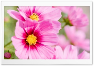 Summer Pink Flowers HD Wide Wallpaper for Widescreen
