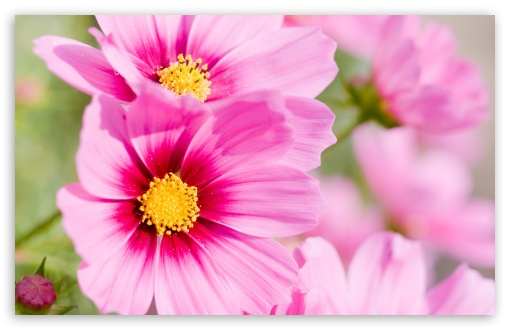 Summer Pink Flowers HD wallpaper for Wide 16:10 5:3 Widescreen WHXGA WQXGA WUXGA WXGA WGA ; HD 16:9 High Definition WQHD QWXGA 1080p 900p 720p QHD nHD ; Standard 4:3 5:4 3:2 Fullscreen UXGA XGA SVGA QSXGA SXGA DVGA HVGA HQVGA devices ( Apple PowerBook G4 iPhone 4 3G 3GS iPod Touch ) ; Tablet 1:1 ; iPad 1/2/Mini ; Mobile 4:3 5:3 3:2 5:4 - UXGA XGA SVGA WGA DVGA HVGA HQVGA devices ( Apple PowerBook G4 iPhone 4 3G 3GS iPod Touch ) QSXGA SXGA ;