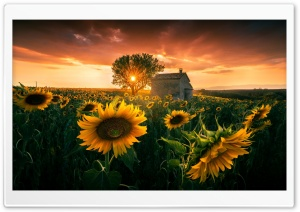 Summer, Sunset, Flowers HD Wide Wallpaper for 4K UHD Widescreen desktop & smartphone