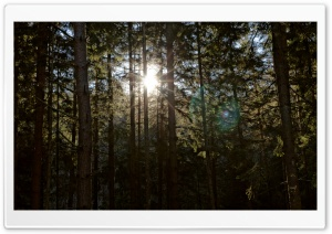 Sun Between Trees HD Wide Wallpaper for Widescreen