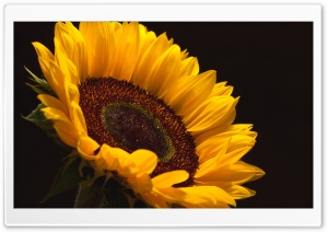 Sun Flower HD Wide Wallpaper for 4K UHD Widescreen desktop & smartphone