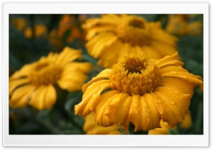 Sun Flower HD Wide Wallpaper for Widescreen