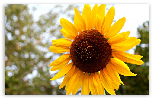 Sun Flower HD wallpaper for Wide 16:10 5:3 Widescreen WHXGA WQXGA WUXGA WXGA WGA ; HD 16:9 High Definition WQHD QWXGA 1080p 900p 720p QHD nHD ; Standard 4:3 5:4 3:2 Fullscreen UXGA XGA SVGA QSXGA SXGA DVGA HVGA HQVGA devices ( Apple PowerBook G4 iPhone 4 3G 3GS iPod Touch ) ; Tablet 1:1 ; iPad 1/2/Mini ; Mobile 4:3 5:3 3:2 16:9 5:4 - UXGA XGA SVGA WGA DVGA HVGA HQVGA devices ( Apple PowerBook G4 iPhone 4 3G 3GS iPod Touch ) WQHD QWXGA 1080p 900p 720p QHD nHD QSXGA SXGA ;