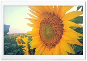 Sun Flowers HD Wide Wallpaper for Widescreen