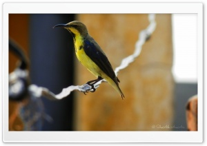 Sunbird - Shoaib Photography - HD Wide Wallpaper for Widescreen