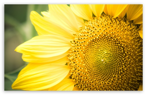 Sunflower ❤ 4K UHD Wallpaper for Wide 16:10 Widescreen WHXGA WQXGA WUXGA WXGA ; 4K UHD 16:9 Ultra High Definition 2160p 1440p 1080p 900p 720p ; Standard 4:3 5:4 Fullscreen UXGA XGA SVGA QSXGA SXGA ; Tablet 1:1 ; iPad 1/2/Mini ; Mobile 4:3 5:4 - UXGA XGA SVGA QSXGA SXGA ;