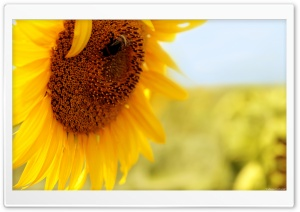 Sunflower Ultra HD Wallpaper for 4K UHD Widescreen desktop, tablet & smartphone