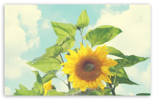 Sunflower ❤ 4K UHD Wallpaper for Wide 16:10 5:3 Widescreen WHXGA WQXGA WUXGA WXGA WGA ; 4K UHD 16:9 Ultra High Definition 2160p 1440p 1080p 900p 720p ; Standard 4:3 5:4 3:2 Fullscreen UXGA XGA SVGA QSXGA SXGA DVGA HVGA HQVGA ( Apple PowerBook G4 iPhone 4 3G 3GS iPod Touch ) ; Tablet 1:1 ; iPad 1/2/Mini ; Mobile 4:3 5:3 3:2 16:9 5:4 - UXGA XGA SVGA WGA DVGA HVGA HQVGA ( Apple PowerBook G4 iPhone 4 3G 3GS iPod Touch ) 2160p 1440p 1080p 900p 720p QSXGA SXGA ;