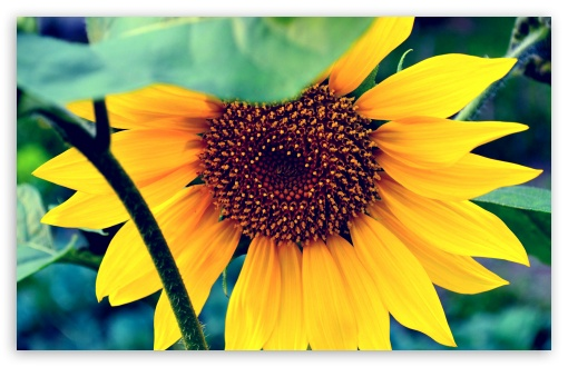 Sunflower ❤ 4K UHD Wallpaper for Wide 16:10 5:3 Widescreen WHXGA WQXGA WUXGA WXGA WGA ; 4K UHD 16:9 Ultra High Definition 2160p 1440p 1080p 900p 720p ; UHD 16:9 2160p 1440p 1080p 900p 720p ; Standard 4:3 5:4 3:2 Fullscreen UXGA XGA SVGA QSXGA SXGA DVGA HVGA HQVGA ( Apple PowerBook G4 iPhone 4 3G 3GS iPod Touch ) ; Tablet 1:1 ; iPad 1/2/Mini ; Mobile 4:3 5:3 3:2 16:9 5:4 - UXGA XGA SVGA WGA DVGA HVGA HQVGA ( Apple PowerBook G4 iPhone 4 3G 3GS iPod Touch ) 2160p 1440p 1080p 900p 720p QSXGA SXGA ;