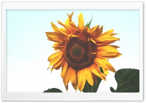 Sunflower HD Wide Wallpaper for 4K UHD Widescreen desktop & smartphone