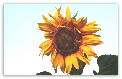 Sunflower HD wallpaper for Wide 16:10 5:3 Widescreen WHXGA WQXGA WUXGA WXGA WGA ; HD 16:9 High Definition WQHD QWXGA 1080p 900p 720p QHD nHD ; Standard 4:3 5:4 3:2 Fullscreen UXGA XGA SVGA QSXGA SXGA DVGA HVGA HQVGA devices ( Apple PowerBook G4 iPhone 4 3G 3GS iPod Touch ) ; Tablet 1:1 ; iPad 1/2/Mini ; Mobile 4:3 5:3 3:2 16:9 5:4 - UXGA XGA SVGA WGA DVGA HVGA HQVGA devices ( Apple PowerBook G4 iPhone 4 3G 3GS iPod Touch ) WQHD QWXGA 1080p 900p 720p QHD nHD QSXGA SXGA ;