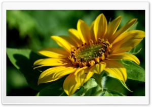 Sunflower 2 HD Wide Wallpaper for Widescreen