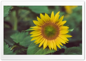 Sunflower 3 HD Wide Wallpaper for Widescreen