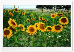 Sunflower HD Wide Wallpaper for Widescreen