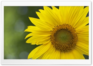 Sunflower HD Wide Wallpaper for 4K UHD Widescreen desktop & smartphone