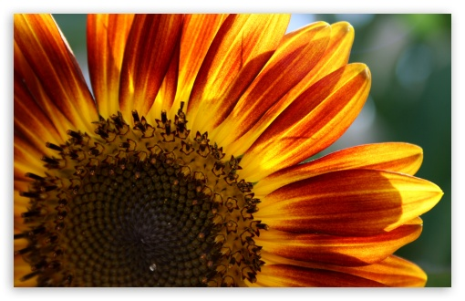 Sunflower HD wallpaper for Wide 16:10 5:3 Widescreen WHXGA WQXGA WUXGA WXGA WGA ; HD 16:9 High Definition WQHD QWXGA 1080p 900p 720p QHD nHD ; Standard 4:3 5:4 3:2 Fullscreen UXGA XGA SVGA QSXGA SXGA DVGA HVGA HQVGA devices ( Apple PowerBook G4 iPhone 4 3G 3GS iPod Touch ) ; Smartphone 5:3 WGA ; Tablet 1:1 ; iPad 1/2/Mini ; Mobile 4:3 5:3 3:2 16:9 5:4 - UXGA XGA SVGA WGA DVGA HVGA HQVGA devices ( Apple PowerBook G4 iPhone 4 3G 3GS iPod Touch ) WQHD QWXGA 1080p 900p 720p QHD nHD QSXGA SXGA ;