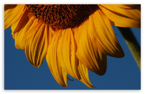 Sunflower HD wallpaper for Wide 16:10 5:3 Widescreen WHXGA WQXGA WUXGA WXGA WGA ; HD 16:9 High Definition WQHD QWXGA 1080p 900p 720p QHD nHD ; Standard 4:3 5:4 3:2 Fullscreen UXGA XGA SVGA QSXGA SXGA DVGA HVGA HQVGA devices ( Apple PowerBook G4 iPhone 4 3G 3GS iPod Touch ) ; iPad 1/2/Mini ; Mobile 4:3 5:3 3:2 16:9 5:4 - UXGA XGA SVGA WGA DVGA HVGA HQVGA devices ( Apple PowerBook G4 iPhone 4 3G 3GS iPod Touch ) WQHD QWXGA 1080p 900p 720p QHD nHD QSXGA SXGA ;