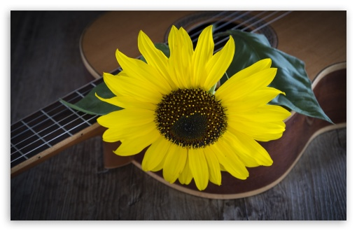 Sunflower, Acoustic Guitar ❤ 4K UHD Wallpaper for Wide 16:10 5:3 Widescreen WHXGA WQXGA WUXGA WXGA WGA ; 4K UHD 16:9 Ultra High Definition 2160p 1440p 1080p 900p 720p ; UHD 16:9 2160p 1440p 1080p 900p 720p ; Standard 4:3 5:4 3:2 Fullscreen UXGA XGA SVGA QSXGA SXGA DVGA HVGA HQVGA ( Apple PowerBook G4 iPhone 4 3G 3GS iPod Touch ) ; Tablet 1:1 ; iPad 1/2/Mini ; Mobile 4:3 5:3 3:2 16:9 5:4 - UXGA XGA SVGA WGA DVGA HVGA HQVGA ( Apple PowerBook G4 iPhone 4 3G 3GS iPod Touch ) 2160p 1440p 1080p 900p 720p QSXGA SXGA ;