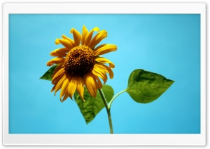 Sunflower Against A Blue Sky HD Wide Wallpaper for Widescreen