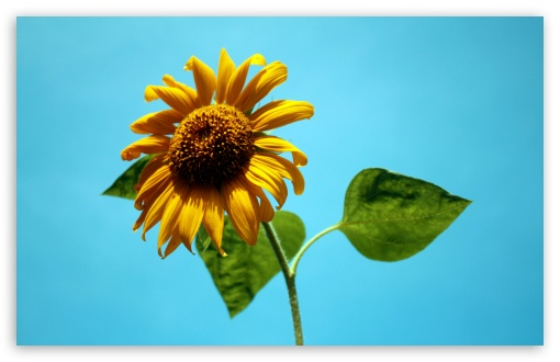 Sunflower Against A Blue Sky HD wallpaper for Standard 4:3 5:4 Fullscreen UXGA XGA SVGA QSXGA SXGA ; Wide 16:10 5:3 Widescreen WHXGA WQXGA WUXGA WXGA WGA ; HD 16:9 High Definition WQHD QWXGA 1080p 900p 720p QHD nHD ; Other 3:2 DVGA HVGA HQVGA devices ( Apple PowerBook G4 iPhone 4 3G 3GS iPod Touch ) ; Mobile VGA WVGA iPhone iPad PSP Phone - VGA QVGA Smartphone ( PocketPC GPS iPod Zune BlackBerry HTC Samsung LG Nokia Eten Asus ) WVGA WQVGA Smartphone ( HTC Samsung Sony Ericsson LG Vertu MIO ) HVGA Smartphone ( Apple iPhone iPod BlackBerry HTC Samsung Nokia ) Sony PSP Zune HD Zen ;