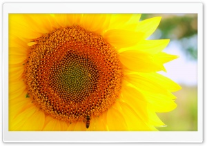 Sunflower and Bee HD Wide Wallpaper for Widescreen