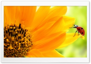 Sunflower And Ladybug HD Wide Wallpaper for Widescreen