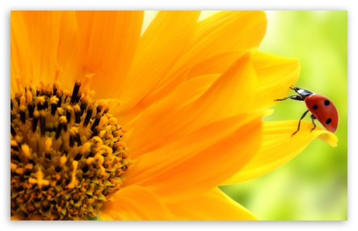 Sunflower And Ladybug HD wallpaper for Wide 16:10 5:3 Widescreen WHXGA WQXGA WUXGA WXGA WGA ; HD 16:9 High Definition WQHD QWXGA 1080p 900p 720p QHD nHD ; Standard 4:3 5:4 3:2 Fullscreen UXGA XGA SVGA QSXGA SXGA DVGA HVGA HQVGA devices ( Apple PowerBook G4 iPhone 4 3G 3GS iPod Touch ) ; iPad 1/2/Mini ; Mobile 4:3 5:3 3:2 16:9 5:4 - UXGA XGA SVGA WGA DVGA HVGA HQVGA devices ( Apple PowerBook G4 iPhone 4 3G 3GS iPod Touch ) WQHD QWXGA 1080p 900p 720p QHD nHD QSXGA SXGA ;
