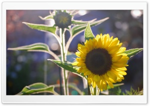 Sunflower and Silhouette Ultra HD Wallpaper for 4K UHD Widescreen desktop, tablet & smartphone