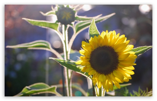 Sunflower and Silhouette UltraHD Wallpaper for Wide 16:10 5:3 Widescreen WHXGA WQXGA WUXGA WXGA WGA ; UltraWide 21:9 24:10 ; 8K UHD TV 16:9 Ultra High Definition 2160p 1440p 1080p 900p 720p ; UHD 16:9 2160p 1440p 1080p 900p 720p ; Standard 4:3 5:4 3:2 Fullscreen UXGA XGA SVGA QSXGA SXGA DVGA HVGA HQVGA ( Apple PowerBook G4 iPhone 4 3G 3GS iPod Touch ) ; Smartphone 16:9 3:2 5:3 2160p 1440p 1080p 900p 720p DVGA HVGA HQVGA ( Apple PowerBook G4 iPhone 4 3G 3GS iPod Touch ) WGA ; Tablet 1:1 ; iPad 1/2/Mini ; Mobile 4:3 5:3 3:2 16:9 5:4 - UXGA XGA SVGA WGA DVGA HVGA HQVGA ( Apple PowerBook G4 iPhone 4 3G 3GS iPod Touch ) 2160p 1440p 1080p 900p 720p QSXGA SXGA ;