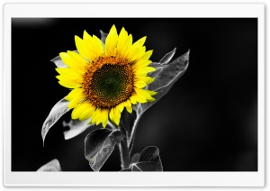 Sunflower Black And White HD Wide Wallpaper for Widescreen