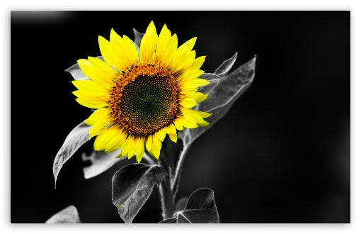 Sunflower Black And White HD wallpaper for Wide 16:10 5:3 Widescreen WHXGA WQXGA WUXGA WXGA WGA ; HD 16:9 High Definition WQHD QWXGA 1080p 900p 720p QHD nHD ; Standard 4:3 5:4 3:2 Fullscreen UXGA XGA SVGA QSXGA SXGA DVGA HVGA HQVGA devices ( Apple PowerBook G4 iPhone 4 3G 3GS iPod Touch ) ; Tablet 1:1 ; iPad 1/2/Mini ; Mobile 4:3 5:3 3:2 16:9 5:4 - UXGA XGA SVGA WGA DVGA HVGA HQVGA devices ( Apple PowerBook G4 iPhone 4 3G 3GS iPod Touch ) WQHD QWXGA 1080p 900p 720p QHD nHD QSXGA SXGA ;