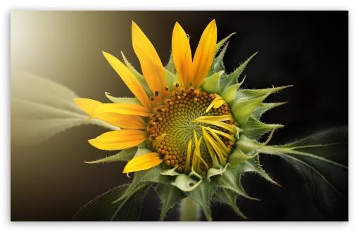 Sunflower Blooming Ultra Hd Desktop Background Wallpaper For 4k Uhd Tv Widescreen Ultrawide Desktop Laptop Tablet Smartphone