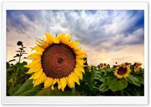 Sunflower Close up HDR HD Wide Wallpaper for Widescreen