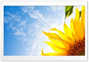 Sunflower Corner HD Wide Wallpaper for Widescreen
