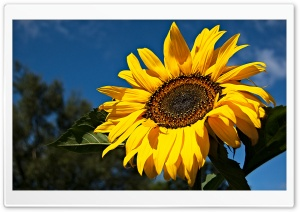 Sunflower, Ely, Cambridgeshire UK HD Wide Wallpaper for 4K UHD Widescreen desktop & smartphone