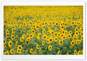 Sunflower Field HD Wide Wallpaper for Widescreen