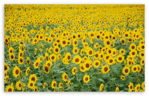Sunflower Field ❤ 4K UHD Wallpaper for Wide 16:10 5:3 Widescreen WHXGA WQXGA WUXGA WXGA WGA ; 4K UHD 16:9 Ultra High Definition 2160p 1440p 1080p 900p 720p ; UHD 16:9 2160p 1440p 1080p 900p 720p ; Standard 4:3 5:4 3:2 Fullscreen UXGA XGA SVGA QSXGA SXGA DVGA HVGA HQVGA ( Apple PowerBook G4 iPhone 4 3G 3GS iPod Touch ) ; Tablet 1:1 ; iPad 1/2/Mini ; Mobile 4:3 5:3 3:2 16:9 5:4 - UXGA XGA SVGA WGA DVGA HVGA HQVGA ( Apple PowerBook G4 iPhone 4 3G 3GS iPod Touch ) 2160p 1440p 1080p 900p 720p QSXGA SXGA ; Dual 16:10 5:3 16:9 4:3 5:4 WHXGA WQXGA WUXGA WXGA WGA 2160p 1440p 1080p 900p 720p UXGA XGA SVGA QSXGA SXGA ;