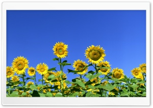 Sunflower Field 1 HD Wide Wallpaper for Widescreen