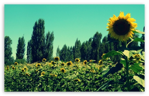 Download Sunflower Field HD Wallpaper