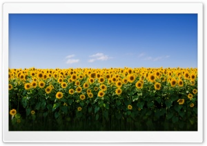 Sunflower Field Aesthetic Ultra HD Wallpaper for 4K UHD Widescreen desktop, tablet & smartphone