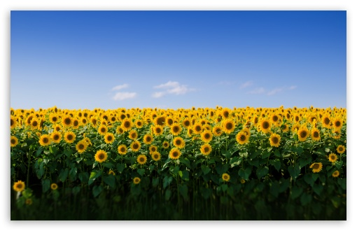 Sunflower Field Aesthetic UltraHD Wallpaper for Wide 16:10 5:3 Widescreen WHXGA WQXGA WUXGA WXGA WGA ; UltraWide 21:9 24:10 ; 8K UHD TV 16:9 Ultra High Definition 2160p 1440p 1080p 900p 720p ; UHD 16:9 2160p 1440p 1080p 900p 720p ; Standard 4:3 5:4 3:2 Fullscreen UXGA XGA SVGA QSXGA SXGA DVGA HVGA HQVGA ( Apple PowerBook G4 iPhone 4 3G 3GS iPod Touch ) ; Smartphone 16:9 3:2 5:3 2160p 1440p 1080p 900p 720p DVGA HVGA HQVGA ( Apple PowerBook G4 iPhone 4 3G 3GS iPod Touch ) WGA ; Tablet 1:1 ; iPad 1/2/Mini ; Mobile 4:3 5:3 3:2 16:9 5:4 - UXGA XGA SVGA WGA DVGA HVGA HQVGA ( Apple PowerBook G4 iPhone 4 3G 3GS iPod Touch ) 2160p 1440p 1080p 900p 720p QSXGA SXGA ; Dual 16:10 5:3 16:9 4:3 5:4 3:2 WHXGA WQXGA WUXGA WXGA WGA 2160p 1440p 1080p 900p 720p UXGA XGA SVGA QSXGA SXGA DVGA HVGA HQVGA ( Apple PowerBook G4 iPhone 4 3G 3GS iPod Touch ) ; Triple 16:10 5:3 16:9 4:3 5:4 3:2 WHXGA WQXGA WUXGA WXGA WGA 2160p 1440p 1080p 900p 720p UXGA XGA SVGA QSXGA SXGA DVGA HVGA HQVGA ( Apple PowerBook G4 iPhone 4 3G 3GS iPod Touch ) ;