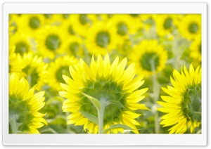 Sunflower Field Background HD Wide Wallpaper for Widescreen