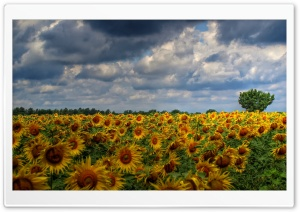 Sunflower Field Background HD Wide Wallpaper for 4K UHD Widescreen desktop & smartphone