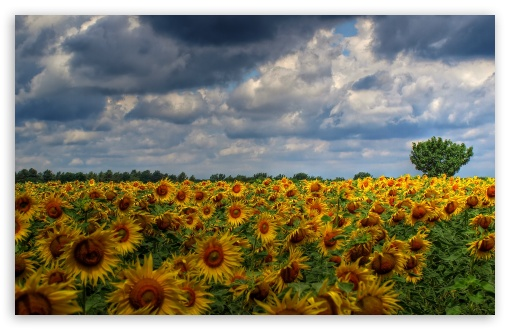 Sunflower Field Background ❤ 4K UHD Wallpaper for Wide 16:10 5:3 Widescreen WHXGA WQXGA WUXGA WXGA WGA ; 4K UHD 16:9 Ultra High Definition 2160p 1440p 1080p 900p 720p ; Standard 5:4 3:2 Fullscreen QSXGA SXGA DVGA HVGA HQVGA ( Apple PowerBook G4 iPhone 4 3G 3GS iPod Touch ) ; Tablet 1:1 ; iPad 1/2/Mini ; Mobile 4:3 5:3 3:2 16:9 5:4 - UXGA XGA SVGA WGA DVGA HVGA HQVGA ( Apple PowerBook G4 iPhone 4 3G 3GS iPod Touch ) 2160p 1440p 1080p 900p 720p QSXGA SXGA ;
