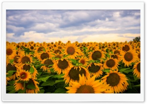 Sunflower Field, Clouds, Sky HD Wide Wallpaper for Widescreen
