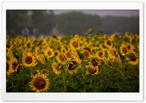 Sunflower Field, Cloudy Summer Day HD Wide Wallpaper for Widescreen