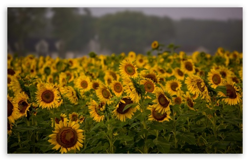 Sunflower Field, Cloudy Summer Day HD wallpaper for Wide 16:10 5:3 Widescreen WHXGA WQXGA WUXGA WXGA WGA ; HD 16:9 High Definition WQHD QWXGA 1080p 900p 720p QHD nHD ; Standard 4:3 5:4 3:2 Fullscreen UXGA XGA SVGA QSXGA SXGA DVGA HVGA HQVGA devices ( Apple PowerBook G4 iPhone 4 3G 3GS iPod Touch ) ; Tablet 1:1 ; iPad 1/2/Mini ; Mobile 4:3 5:3 3:2 16:9 5:4 - UXGA XGA SVGA WGA DVGA HVGA HQVGA devices ( Apple PowerBook G4 iPhone 4 3G 3GS iPod Touch ) WQHD QWXGA 1080p 900p 720p QHD nHD QSXGA SXGA ; Dual 16:10 5:3 16:9 4:3 5:4 WHXGA WQXGA WUXGA WXGA WGA WQHD QWXGA 1080p 900p 720p QHD nHD UXGA XGA SVGA QSXGA SXGA ;