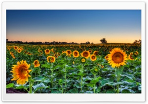 Sunflower Field Sunset HD Wide Wallpaper for Widescreen