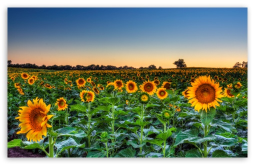 Sunflower Field Sunset HD wallpaper for Standard 4:3 5:4 Fullscreen UXGA XGA SVGA QSXGA SXGA ; Wide 16:10 5:3 Widescreen WHXGA WQXGA WUXGA WXGA WGA ; HD 16:9 High Definition WQHD QWXGA 1080p 900p 720p QHD nHD ; Other 3:2 DVGA HVGA HQVGA devices ( Apple PowerBook G4 iPhone 4 3G 3GS iPod Touch ) ; Mobile VGA WVGA iPhone iPad PSP Phone - VGA QVGA Smartphone ( PocketPC GPS iPod Zune BlackBerry HTC Samsung LG Nokia Eten Asus ) WVGA WQVGA Smartphone ( HTC Samsung Sony Ericsson LG Vertu MIO ) HVGA Smartphone ( Apple iPhone iPod BlackBerry HTC Samsung Nokia ) Sony PSP Zune HD Zen ; Tablet 2 Android 3 DVGA HVGA HQVGA devices ( Apple PowerBook G4 iPhone 4 3G 3GS iPod Touch ) ; Dual 4:3 5:4 16:10 5:3 16:9 UXGA XGA SVGA QSXGA SXGA WHXGA WQXGA WUXGA WXGA WGA WQHD QWXGA 1080p 900p 720p QHD nHD ;