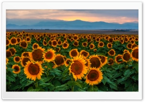 Sunflower Field, Sunset, Colorado HD Wide Wallpaper for Widescreen